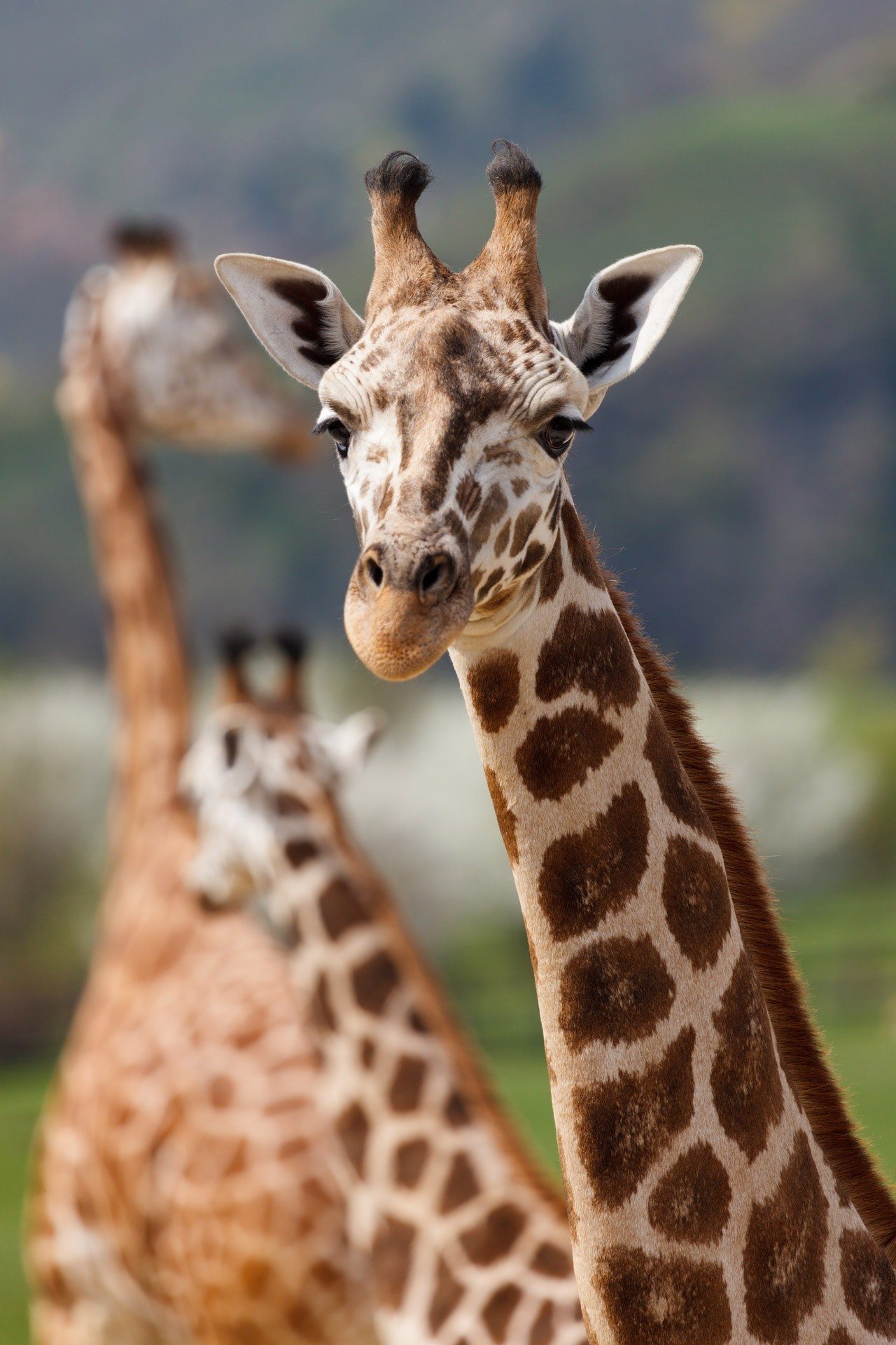 A picture of a giraffe. | Source: Pexels