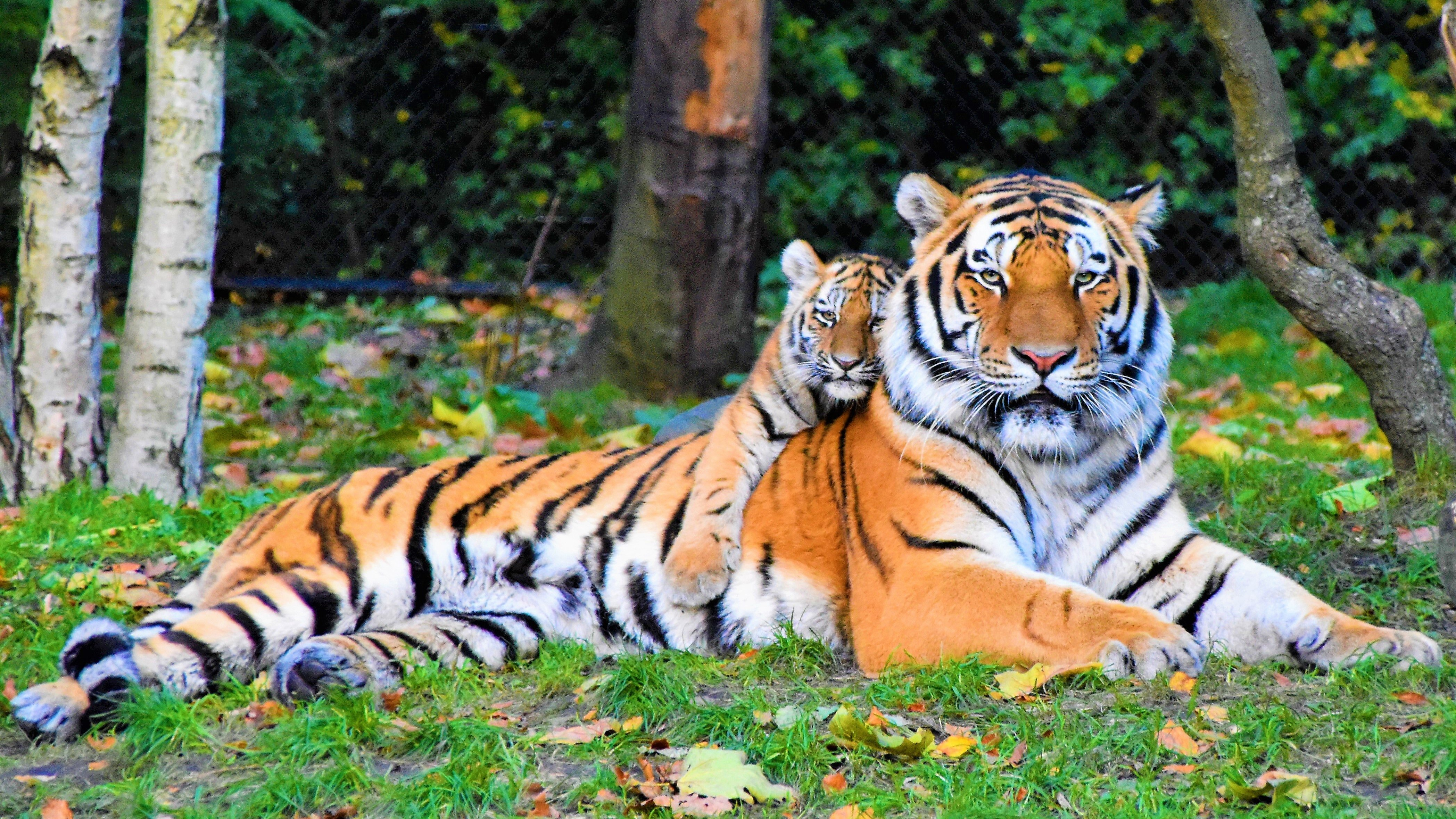 Picture of tigers in a park | Photo: Pixabay