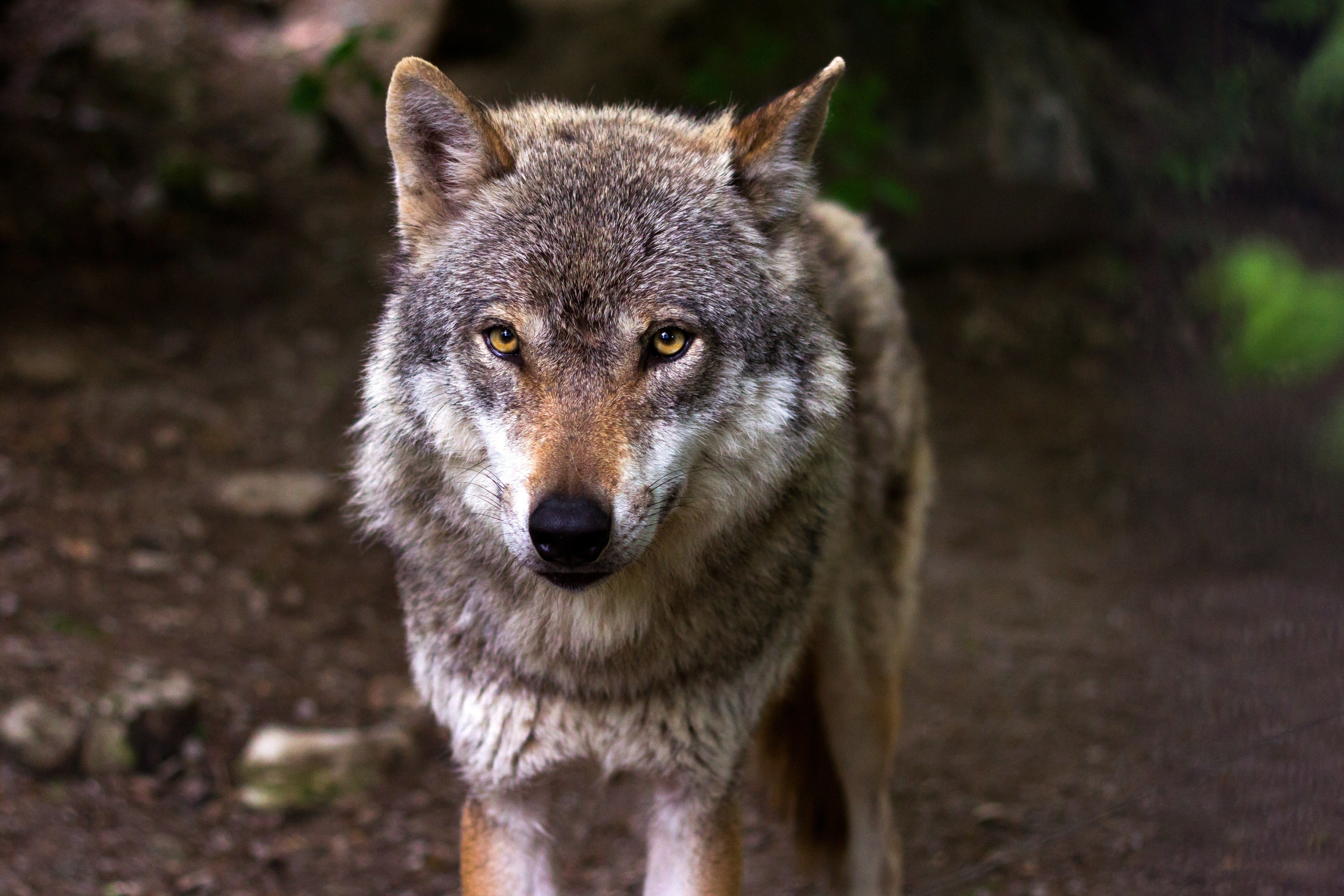 Pictured - An image of a gray and white wolf in the woods   Source: Pexels
