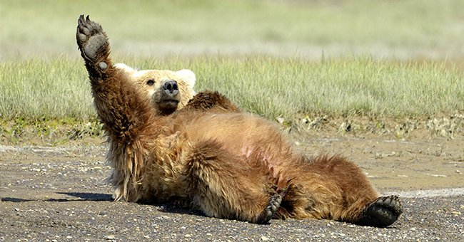 Grizzly Bear lying on beach and stretching | Source: Shutterstock