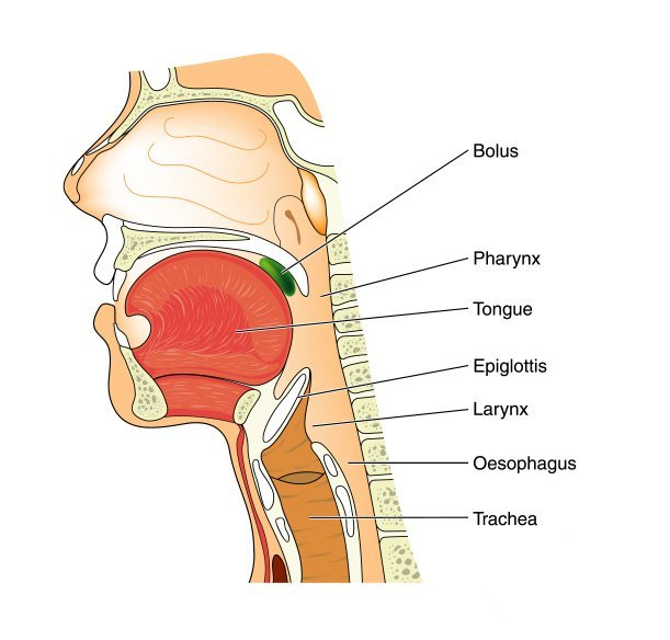 Anatomy of the nose and throat. | Source: Shutterstock