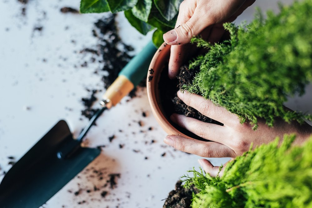 A woman's hands transplanting plant a into a new pot.   Photo: Shutterstock