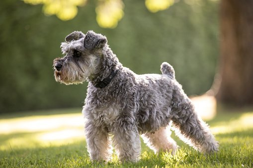 A schnauzer | Photo: Getty Images