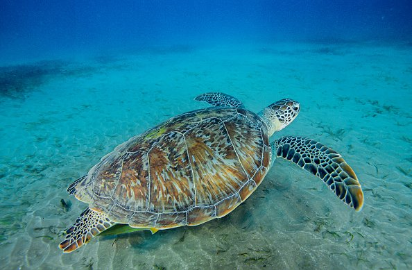 Green sea turtle swimming on sea grass in a shallow water. | Photo: Getty Images