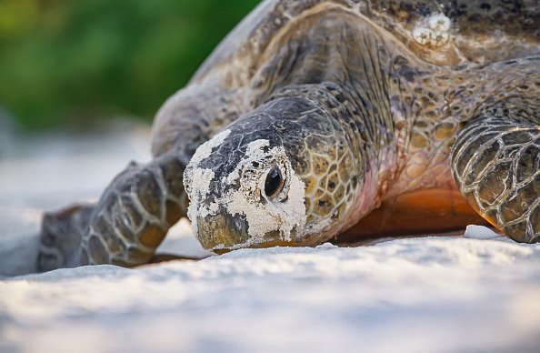 A female green sea turtle laying eggs on a beach. | Photo: Getty Images