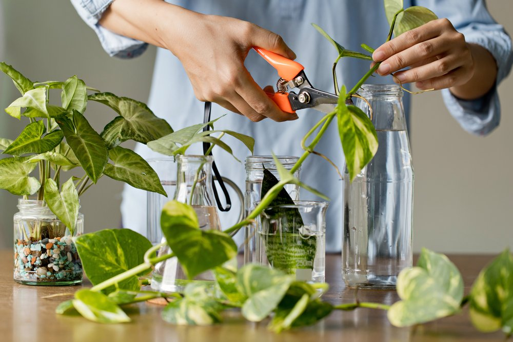 A woman cutting a plant with a kitchen scissors.   Photo: Shutterstock