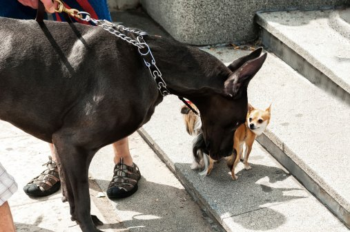 Photo of a a great dane and a chihuahua, sniff each other out | Photo: Getty Images