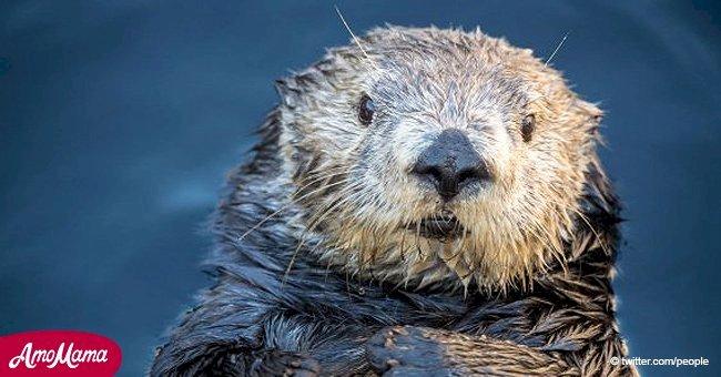 Monterey Bay Aquarium apologises for 'fat-shaming' an otter