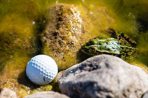 A frog is sitting in a pond and staring at a golf ball right next to it.   Photo: Getty Images