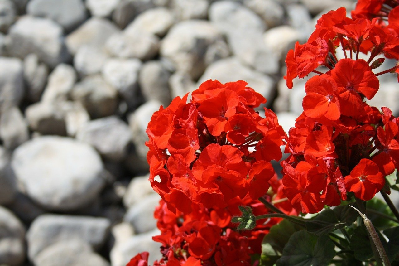 Some pelargonium flowers set in contrast to gray stones in the background   Photo: Pixabay/Carl Lewin