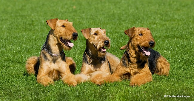 Three handsome male dogs see a beautiful, enticing, female Poodle