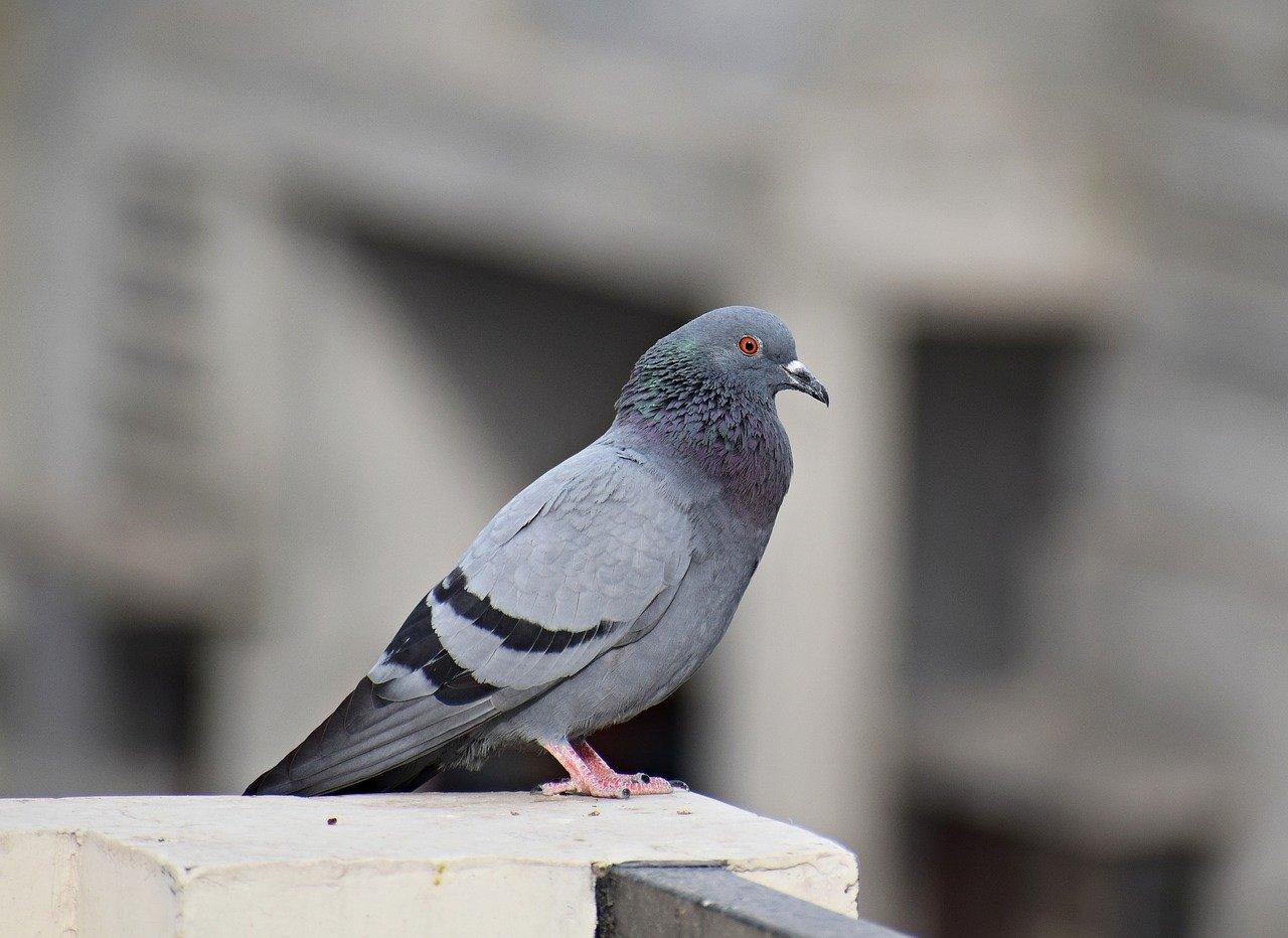 Un pigeon.   Photo : Pixabay