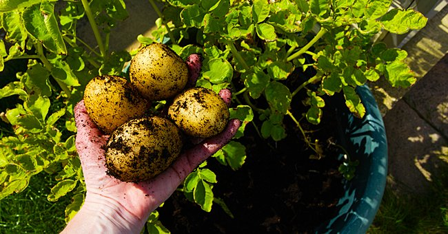 Tips and Tricks to Grow Potatoes in a Pot