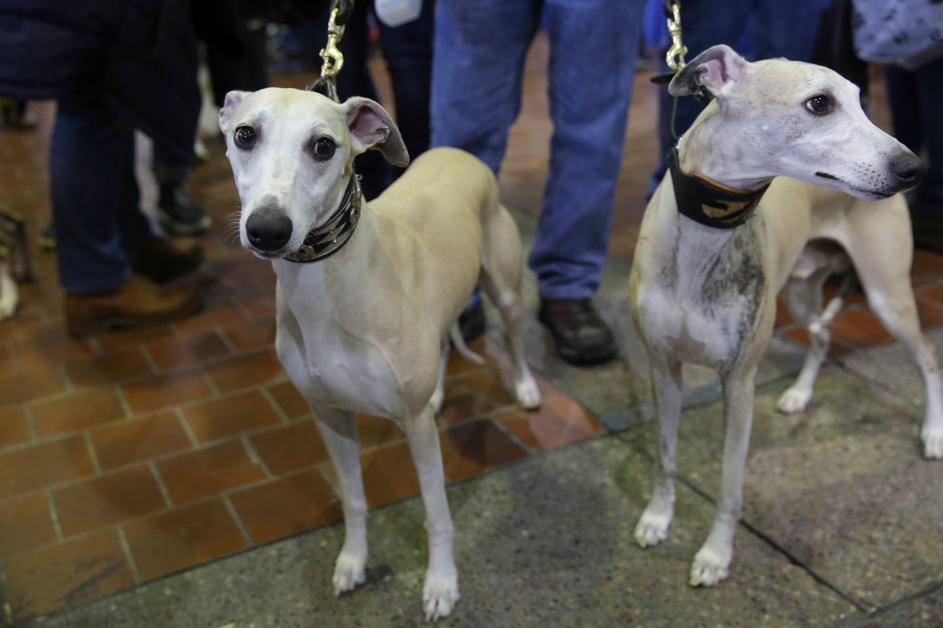 Whippets named Moe and Houdini participate in the 8th annual American Kennel Club Meet the Breeds event held at Pier 92 on February 11, 2017 in New York City. | Source: Getty Images