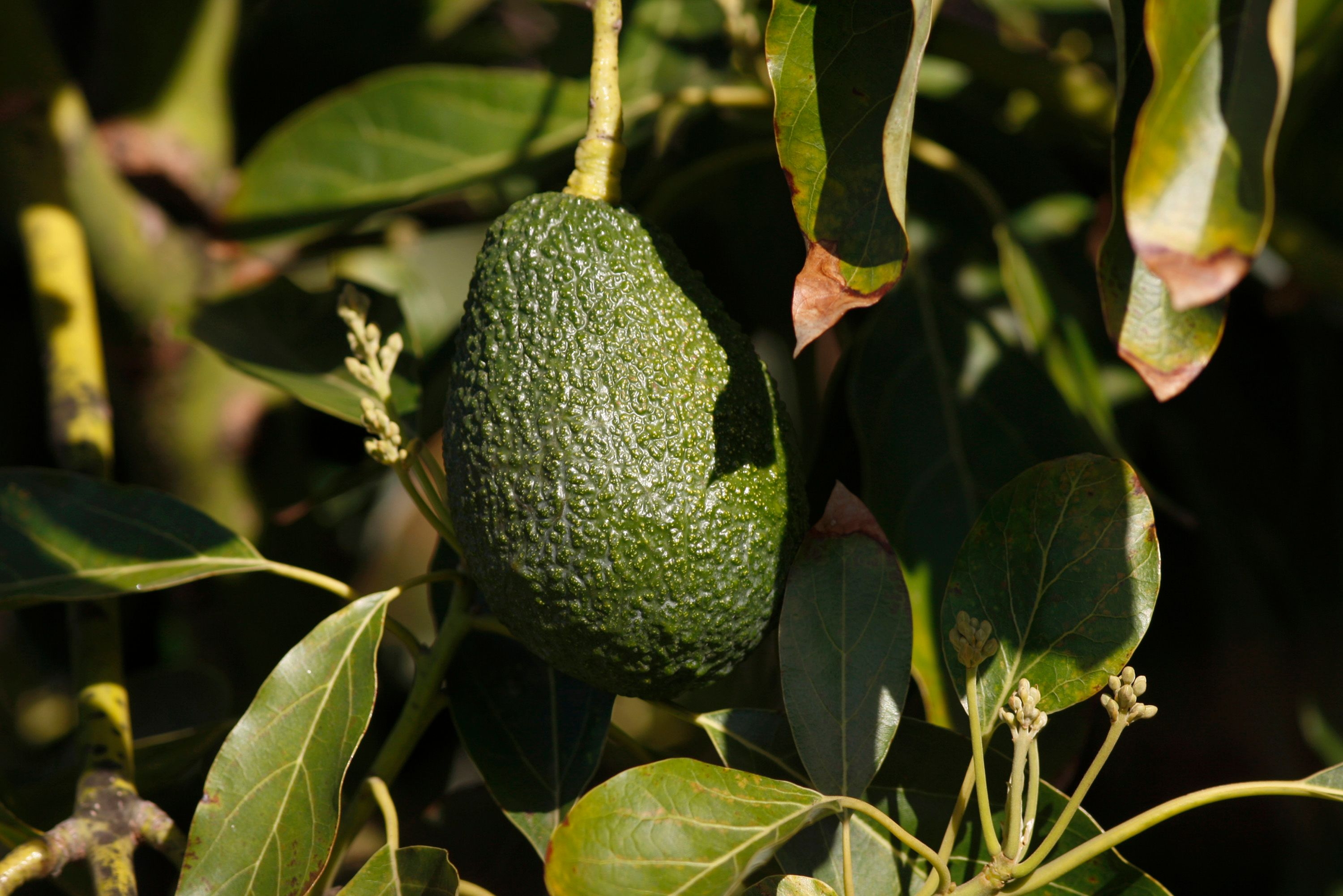 An avocado on a tree.   Source: Getty Images
