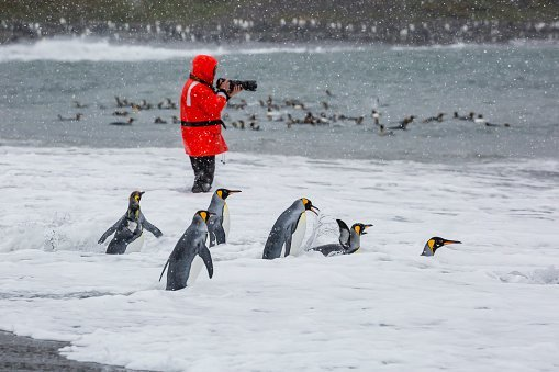 Photo of adult king penguins going to sea at St. Andrews Bay, South Georgia, Polar Regions | Photo: Getty Images
