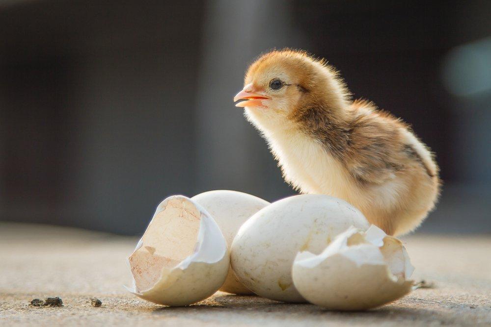 Poulet à côté de coquilles d'oeufs   Photo : Shutterstock