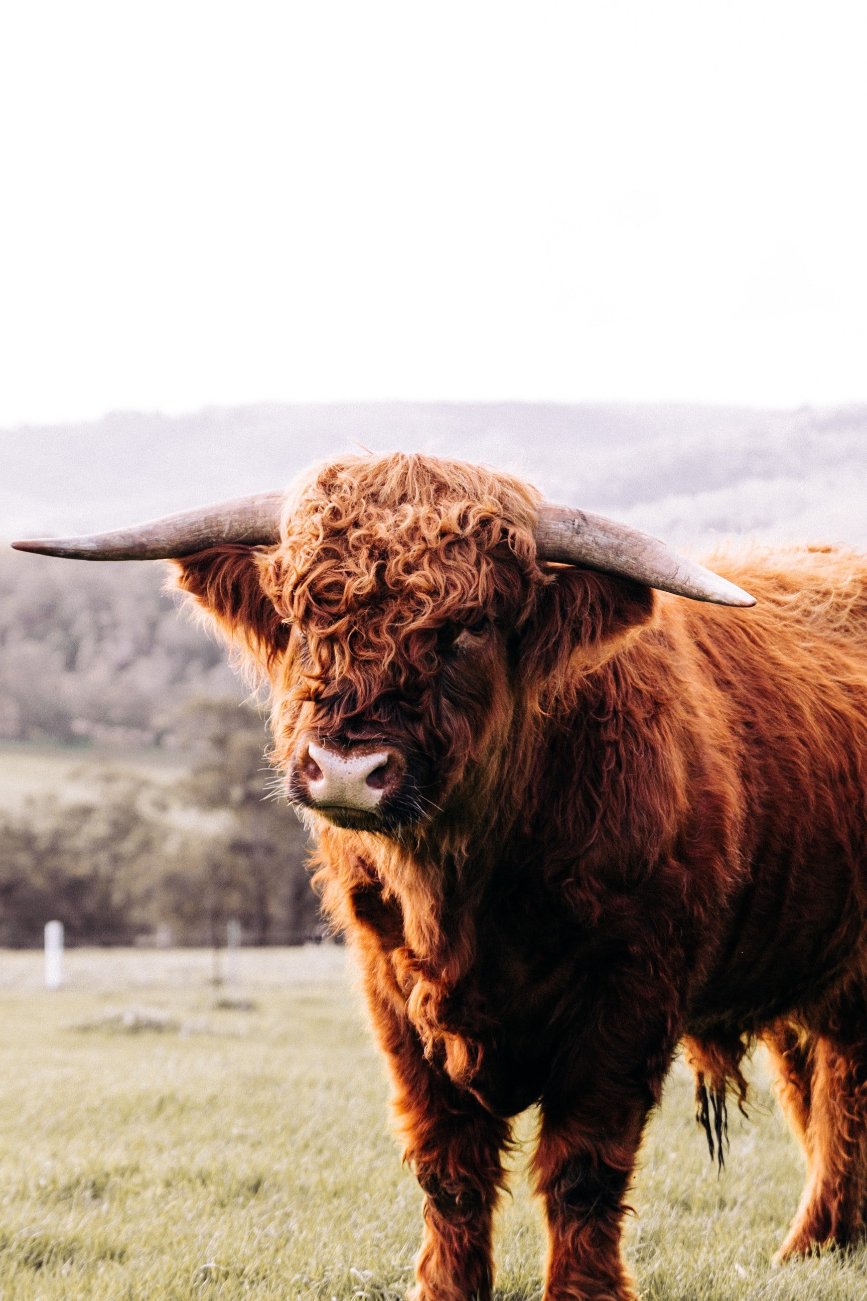 One man would want to come back as a range bull. | Photo: Pexels