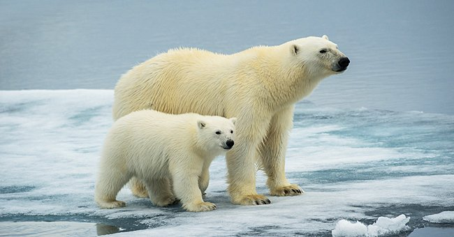 Daily Joke: A Young Polar Bear Had Some Questions for Everyone