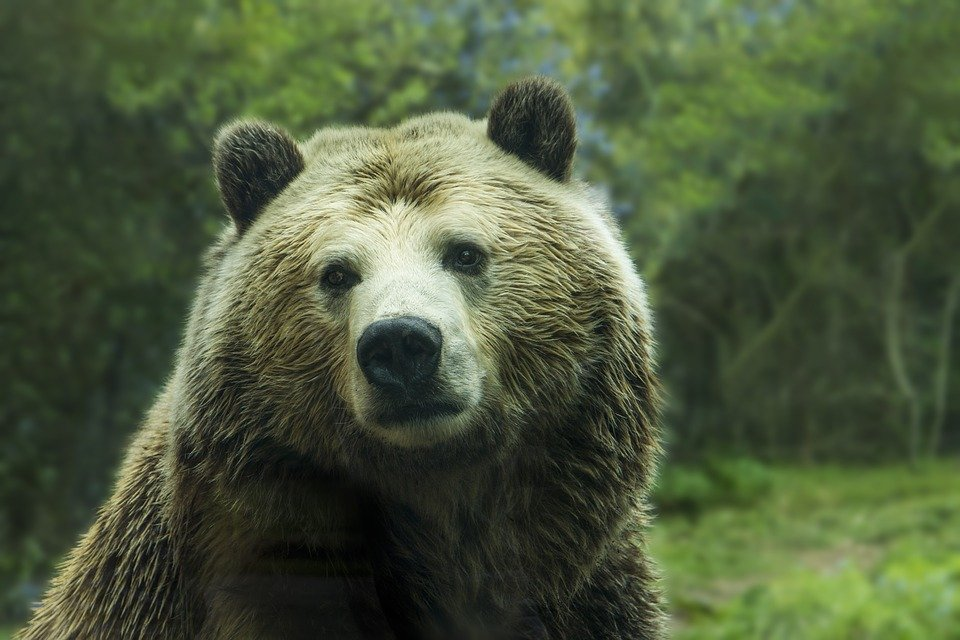Grizzly| Quelle: Pixabay
