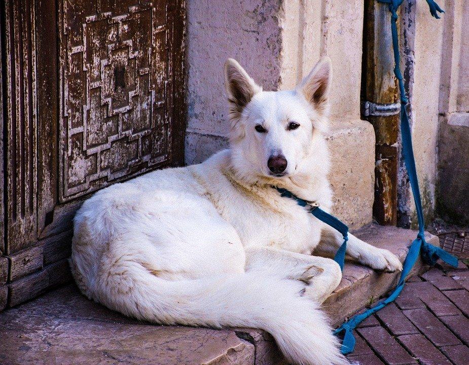 Un chien blanc. l Source: Pixabay