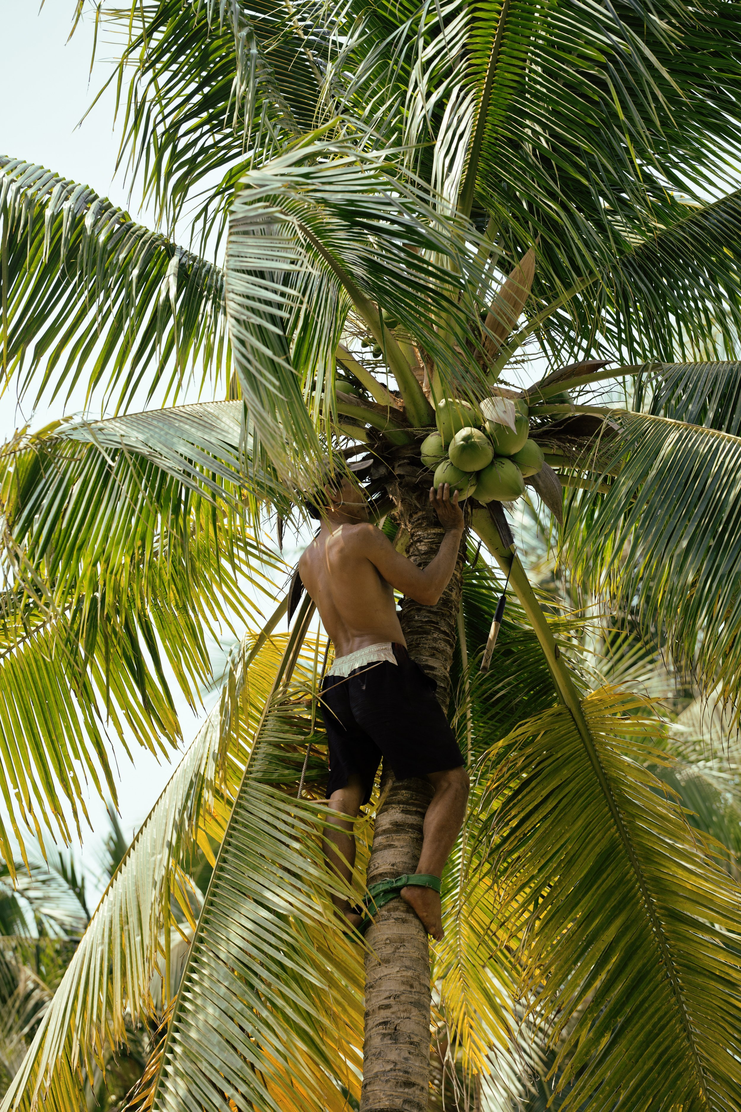 A man picking coconuts from a tree. | Source: Shutterstock.