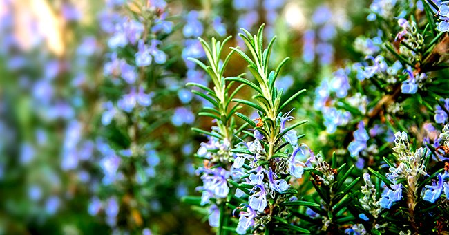 Tips for Growing Rosemary at Home — Best Time and Place to Plant, Watering Rules, and More