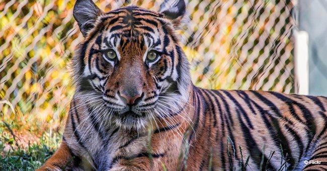 Un tigre regardant vers le caméra   Freepik