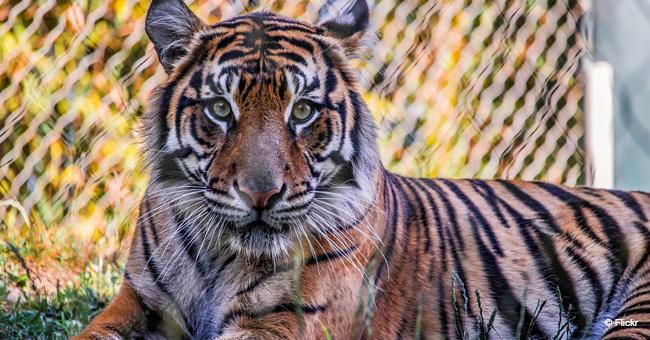 Une tigresse a donné naissance à des jumeaux, mais un des tigrons ne respirait plus, et son instinct maternel est entré en action