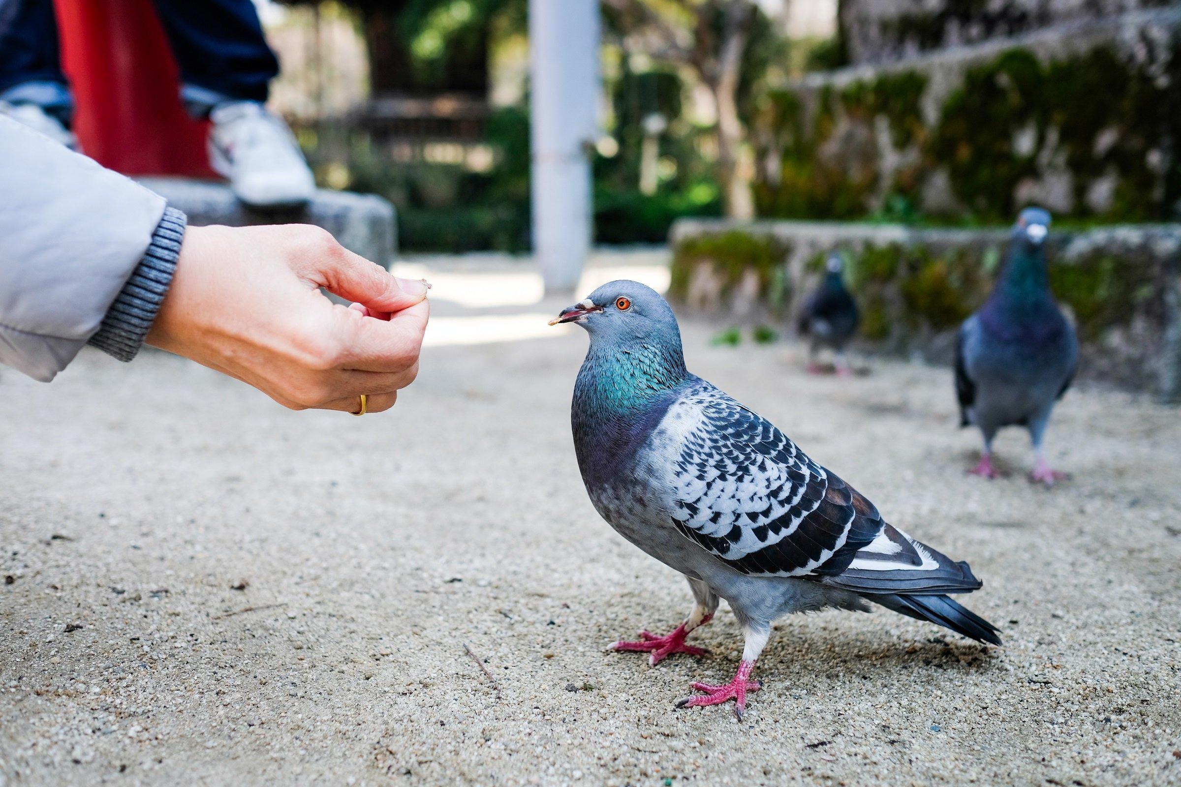 Persona alimenta a paloma    Fuente: Shutterstock