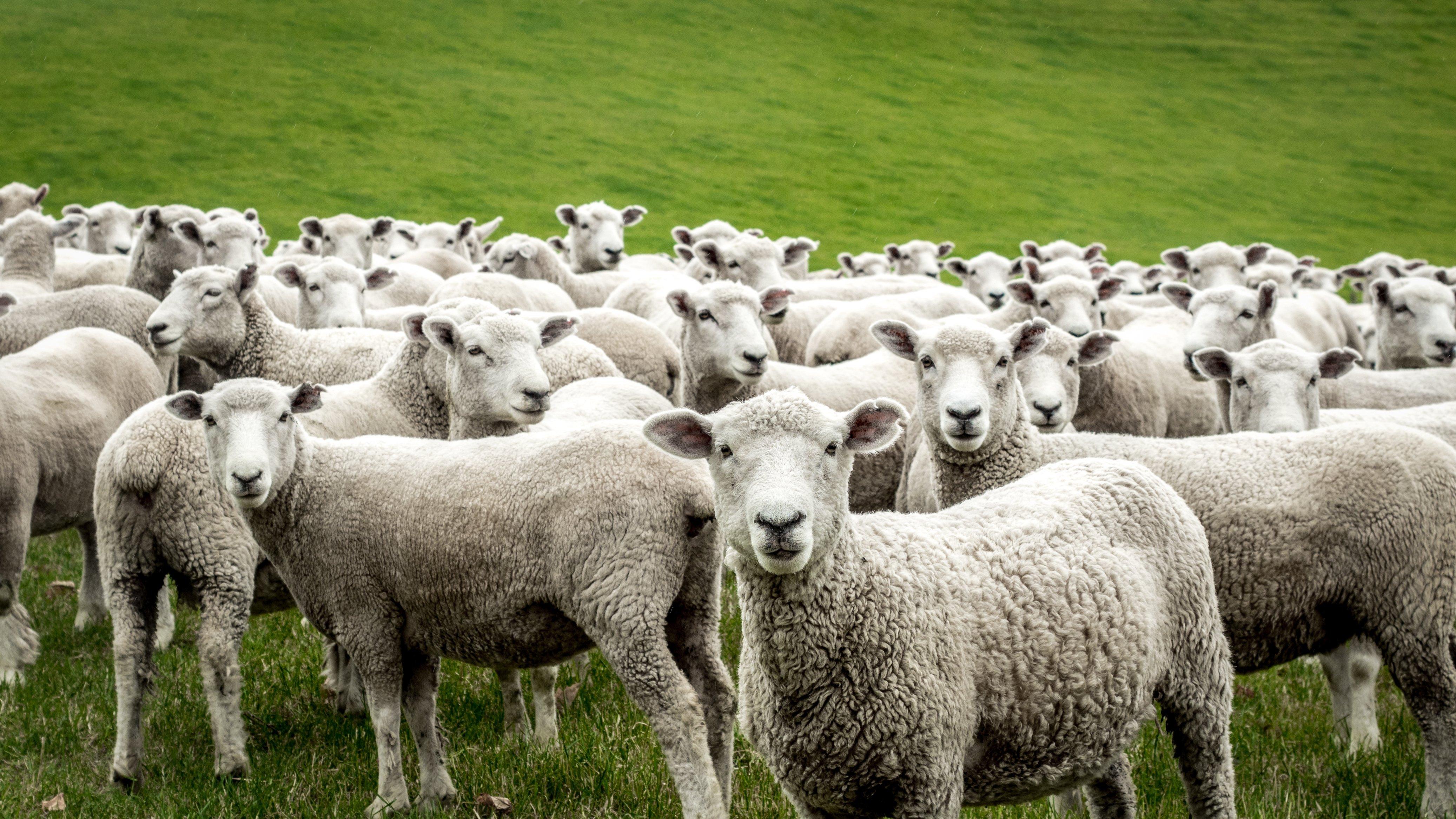Ovejas en el pasto. Fuente: Shutterstock
