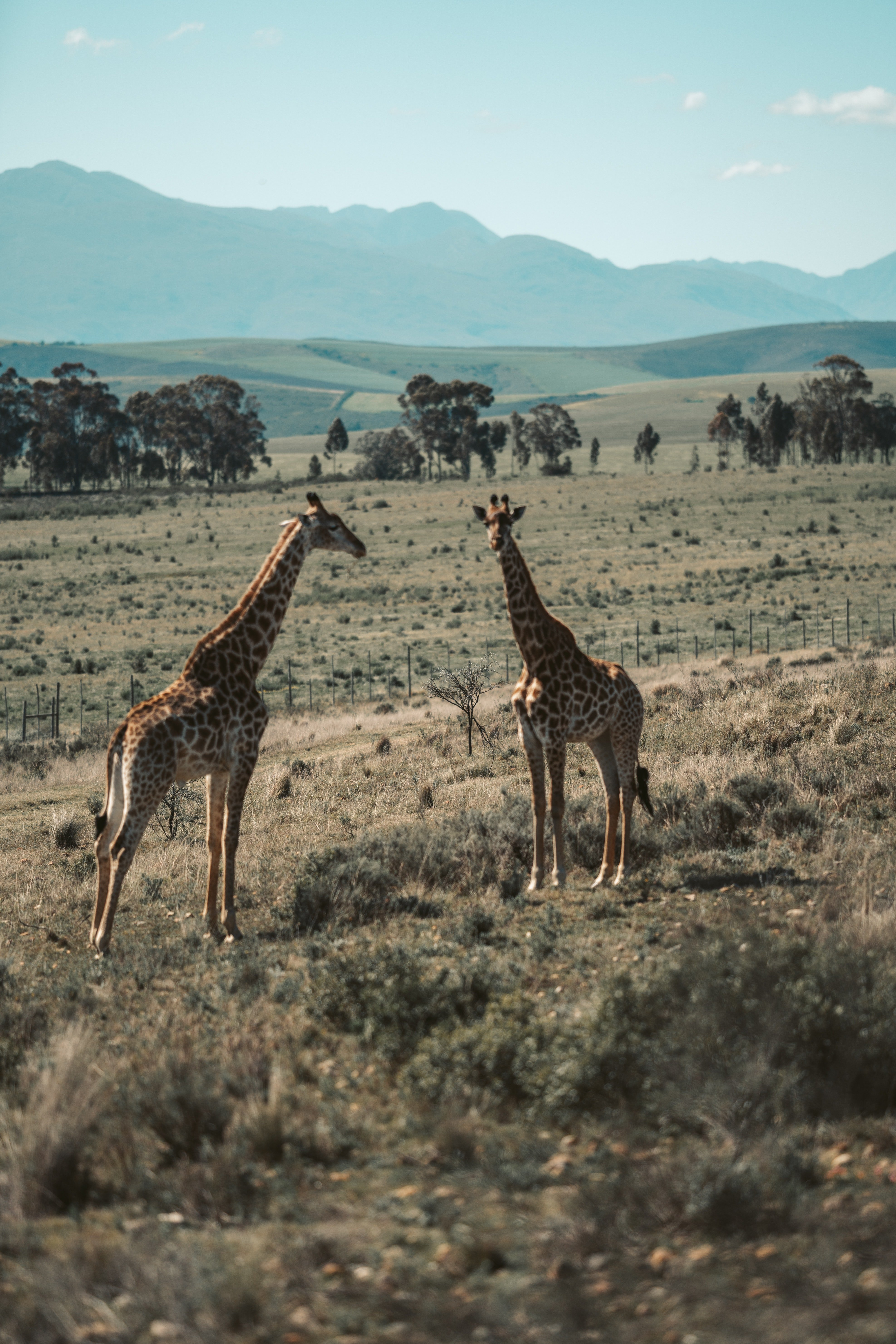 Two giraffes in the wild. | Photo: Pexels
