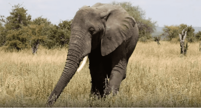 One of the several elephants living at the Kruger National Park   Photo: Shutterstock