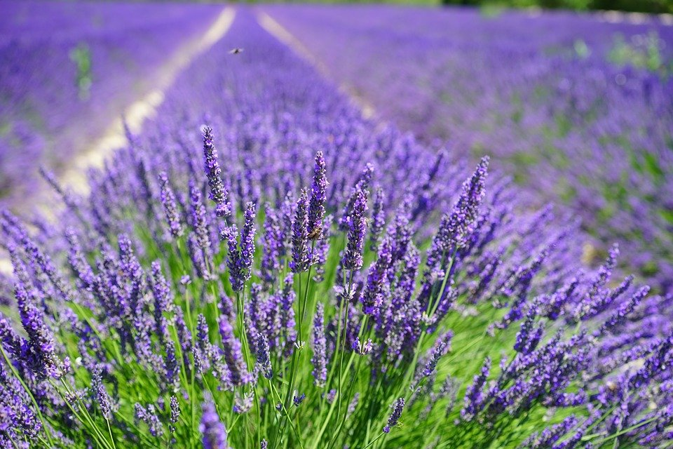 Lavender fields | Photo: Pixabay