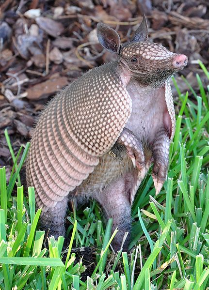 An Armadillo standing up in the grass in Palm Coast, Florida   Photo: Wikimedia Commons