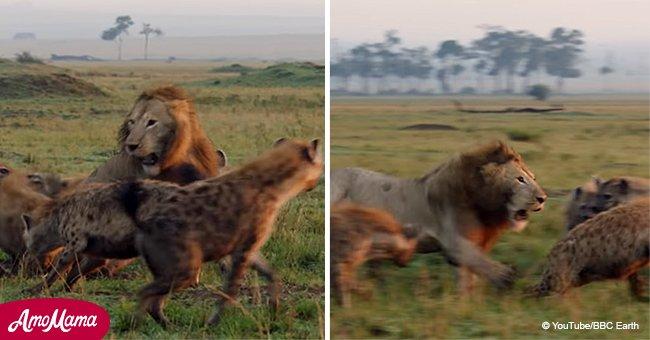 Un lion est encerclé par des hyènes et n'a aucun moyen de s'enfuir, jusqu'à ce qu'un membre sa famille arrive pour l'aider