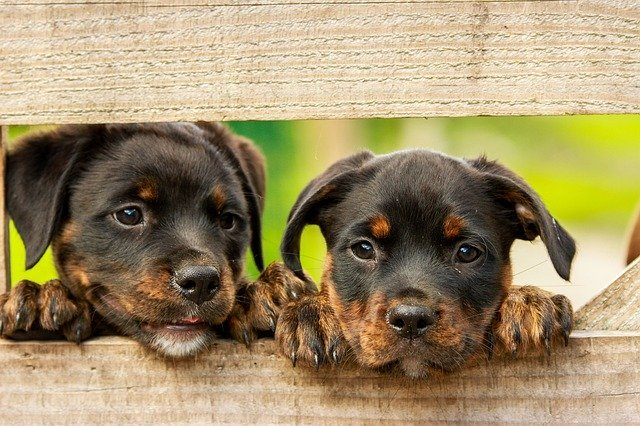 Two puppies look through a fence | Photo: Pixabay