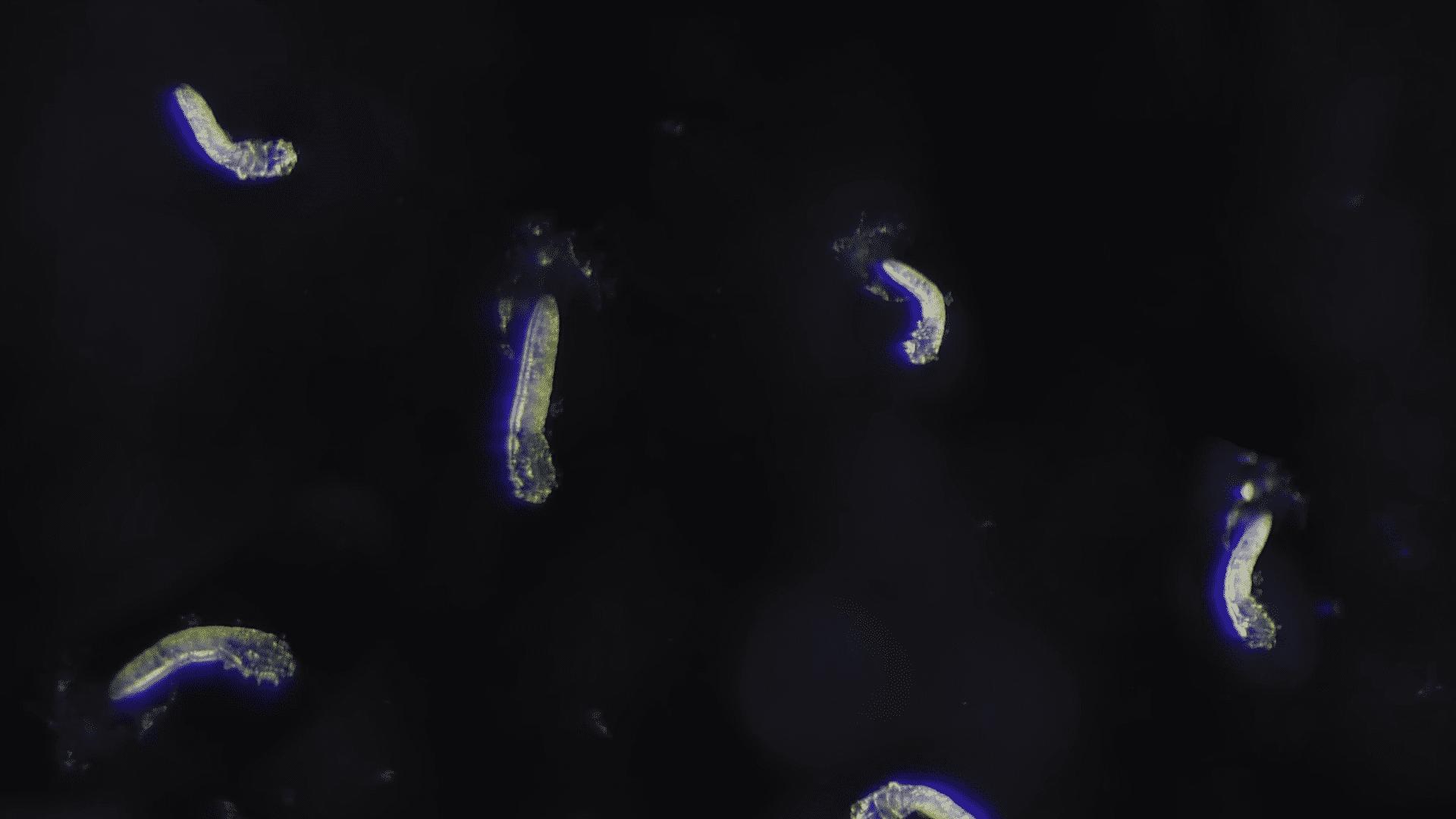 Ácaro facial bajo el microscopio │Imagen tomada de: YouTube / Deep Look