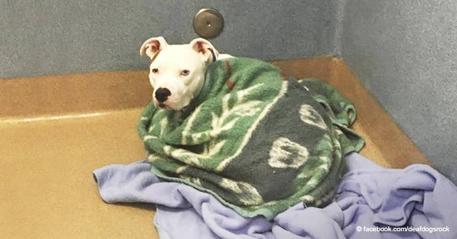 Deaf dog abandoned by cruel family comforts himself wrapped in blankets
