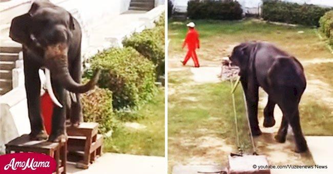 Doloroso video muestra a elefante desnutrido siendo forzado a hacer trucos para auditorio vacío