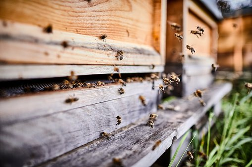 Honey bees flying into wooden beehives  | Photo: Getty Images