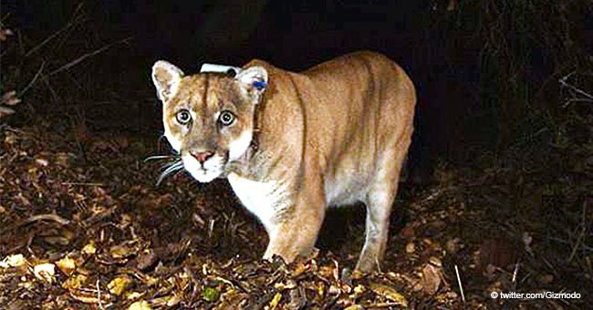 Runner Chokes Mountain Lion to Death with His Bare Hands After Being Attacked