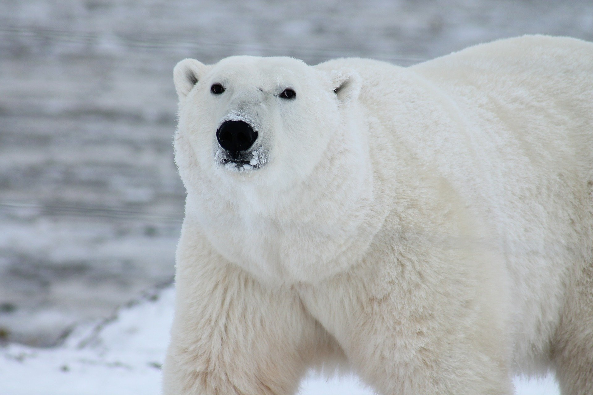 Pictured - A photograph of a polar bear in the snow | Source: Pixabay