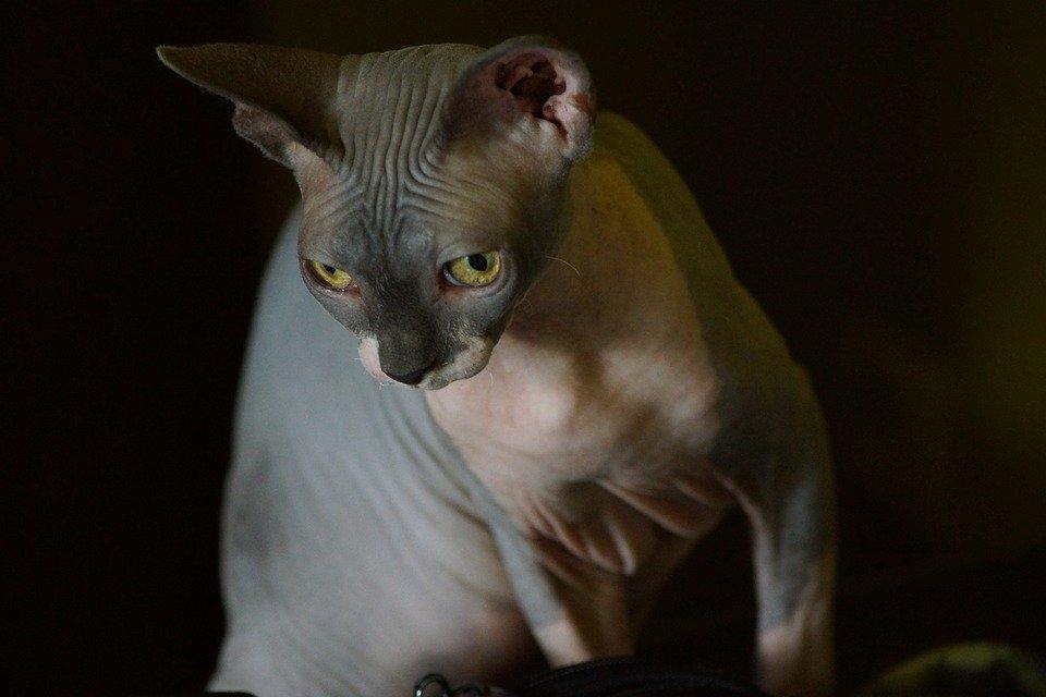 A los gatos esfinge les gusta ser abrazados.   Imagen tomada de: Pixabay