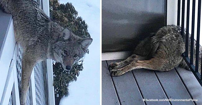 Des officiers de police généreux sont venus en aide à un coyote sans défense qui était coincé, au lieu de le tuer