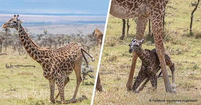 Incredible moment giraffe gives birth and baby takes its first steps moments later