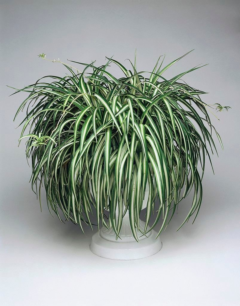 Close-up of a Spider plant in a flower pot   Photo: Getty Images