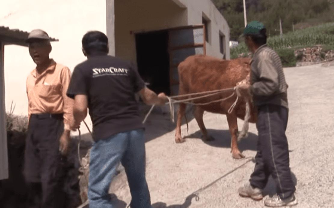 La vache emportée pour être vendue. l Source: YouTube/Kritter Klub