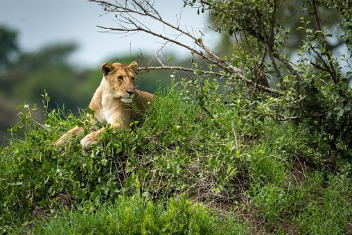 A lion running around in the jungle | Photo: Getty Images