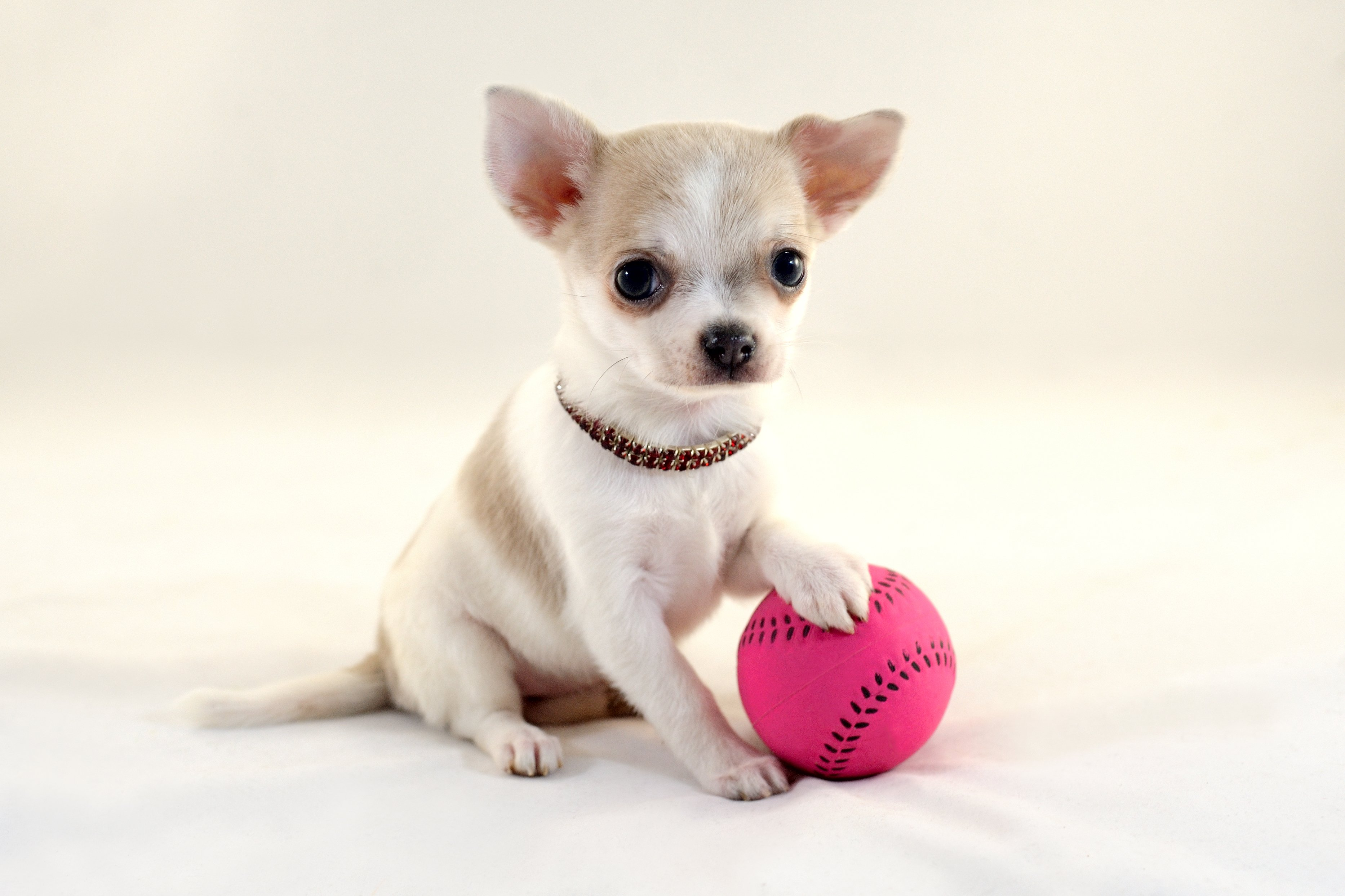 Short-haired white color miniature Chihuahua puppy with a pink tennis ball on white background | Photo: Shutterstock